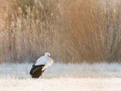 Parc du Marquenterre-cigogne blanche@Nathanael Hermann
